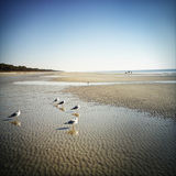 Seagulls on Hilton Head Island Beach Stock Image