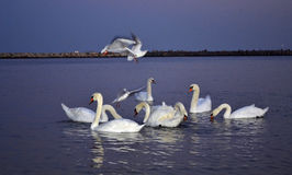 Seagulls hovering over swans Royalty Free Stock Photo