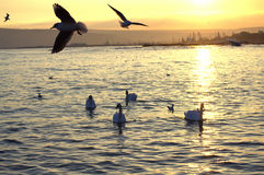 Seagulls hovering over swans at sunset Royalty Free Stock Photo