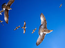 6 seagulls hovering overhead, view point directly underneath loo Stock Image