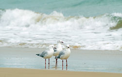 Seagulls huddled together at edge of surf waves stock photos