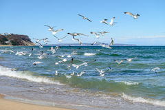Seagulls hunt for small fish in the shallow Baltic Sea Stock Photos