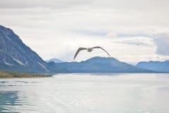 Seagulls i Alaska royaltyfri fotografi