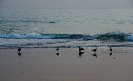 Seagulls i Albufeira, Algarve Portugal royaltyfri bild