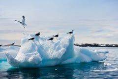 Seagulls i Antarktis Arkivbilder
