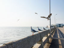 Seagulls i Bangpoo, Thailand Royaltyfri Bild