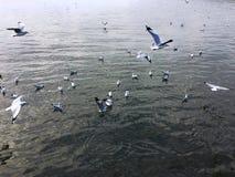 Seagulls i Bangpoo Thailand Royaltyfri Foto