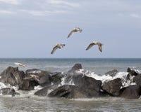 Seagulls i bildande Arkivbilder