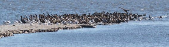 Seagulls i czubaci kormorany fotografia royalty free
