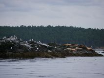 Seagulls i denni lwy Obraz Royalty Free