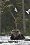 Seagulls i Dorosła samiec Brown niedźwiedź na śniegu (Ursus arctos) fotografia stock