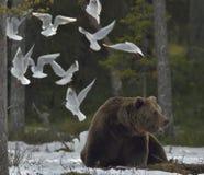 Seagulls i Dorosła samiec Brown niedźwiedź na śniegu (Ursus arctos) obraz stock