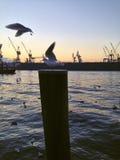 Seagulls i en hamn eller en port Royaltyfri Bild