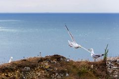 Seagulls i Etretat, Normandie, Frankrike royaltyfria bilder