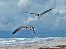 Seagulls i flyg Royaltyfri Foto