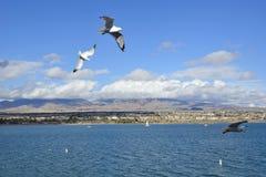 Seagulls i flyg Arkivbild