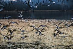 Seagulls i flykten över sjön Varese Royaltyfria Bilder