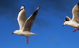 Seagulls i flykten Arkivfoton