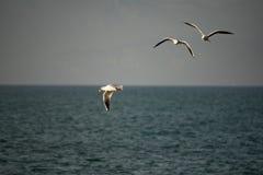 Seagulls i flykten mot en blå himmel med vita moln arkivbilder