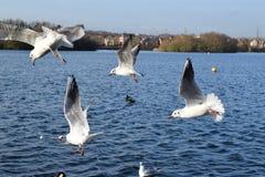 Seagulls i flykten på sjön Arkivfoto
