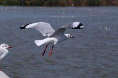 Seagulls i havet royaltyfri bild