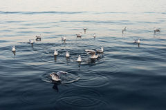 Seagulls i havet Fotografering för Bildbyråer