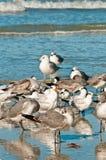 Seagulls i jeden królewski tern na tropikalnej linii brzegowej w zatoce meksykańskiej Fotografia Royalty Free
