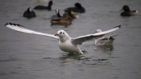 Seagulls i kaczki blisko promu, Chornomorsk, Ukraina Fotografia Royalty Free