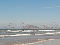 Seagulls i Mazatlan fotografering för bildbyråer