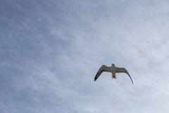 Seagulls i molnig himmel Arkivbilder