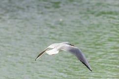 Seagulls i olika lägen Arkivbild