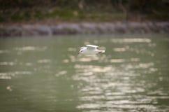 Seagulls i olika lägen Royaltyfria Bilder
