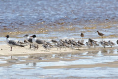 Seagulls i sanderlings na sandbar Obraz Royalty Free
