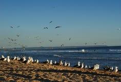 Seagulls i surfingowowie na plażach Caparica, Portugalia zdjęcia royalty free