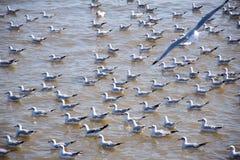 Seagulls i Thailand Royaltyfria Foton