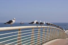 Seagulls i Valparaiso, Chile Arkivfoton