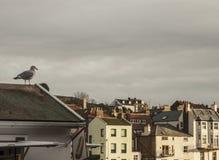 Seagulls i Whitby, Yorkshire, England Arkivbilder