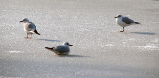 Seagulls on ice Royalty Free Stock Photography