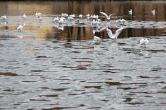 Seagulls on ice floes of the spring lake Royalty Free Stock Photos