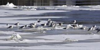 Seagulls on ice Stock Photos