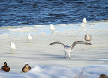 Seagulls On Ice Royalty Free Stock Images