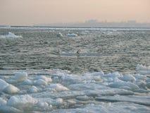 Seagulls on ice royalty free stock photo