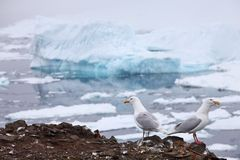 Seagulls with iceberg background Stock Photography