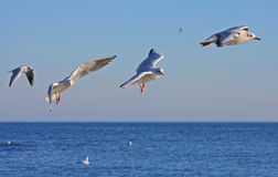 Free Seagulls In Flight Stock Photos - 22287383