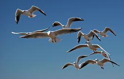 Free Seagulls In Flight Royalty Free Stock Image - 22623956