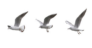 Free Seagulls In Flying On A White Background. Royalty Free Stock Photos - 59037328