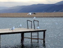 Seagulls In Lake Ohrid, Macedonia Stock Photo