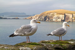 Seagulls on the irish coast stock photo