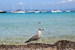 Seagulls on the island of Porquerolles in France stock photo