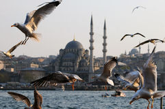 Seagulls in Istanbul Royalty Free Stock Images